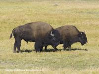 Click to see an image of an Yellowstone bison.