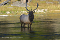 Click to see an image of an Yellowstone elk bull.